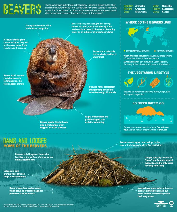 Did you know Beavers have transparent eyelids to aid in underwater navigation? They can also remain underwater for 15 minutes! Learn more with @pbsnature. (Designer: Victoria Malabrigo)
