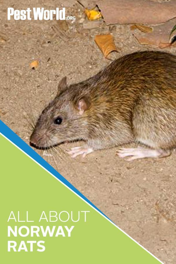 Norway Rats Are Known For Reproducing Quickly Delivering Three To Six Litters Each Year Rodent Infestations Can Be Hard In 2020 Norway Rat Rodent Infestation Norway