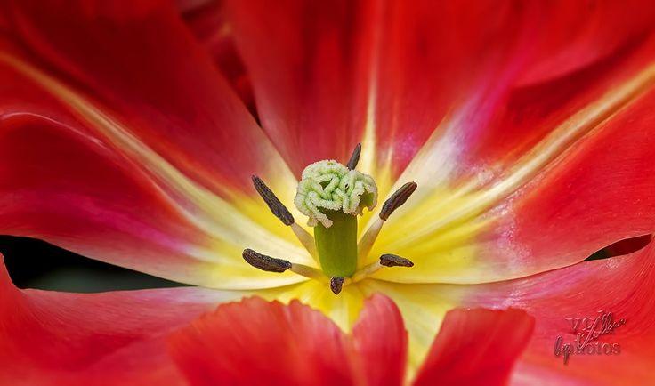 Der Mittwoch ist geschafft … ?  jetzt geht's Richtung Wochenende! ?  .    .  .  .    …    Der Mittwoch ist geschafft … ??⚘  jetzt geht's Richtung Wochenende! ?  .  @visitkeukenhof  .  .  .  #keukenhof  #lisse  #tulip  #tulips  #flower  #dernederlanden  #hollandlovers  #photography  #netherlands  #keukenhofgarden  #keukenhofgardens  #keukenhoftulipgarden  #beauty  #keukenhof  #flowers  #nederland  #photooftheday  #pictureoftheday  #bestoftheday  #makro  #macro  #macrophotography  #macros  #macroworld  #macrophoto  #makrofotografie  #nature  #life  #vie  #leben     Source