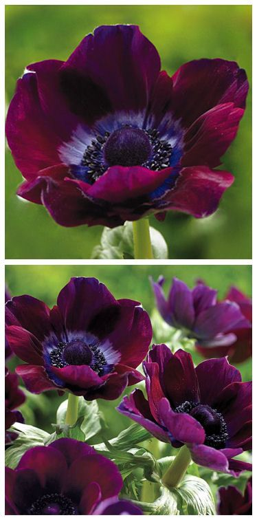 Burgundy Poppy Windflowers ♥