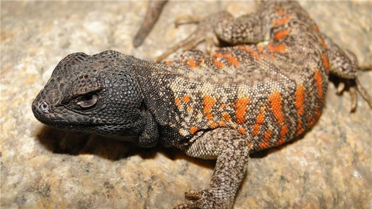 """""""Lizards Facing Mass Extinction from Climate Change  Mar. 6, 2013 — Climate change could see dozens of lizard species becoming extinct within the next 50 years, according to new research published today. The often one-directional evolutionary adaptation of certain lizard species' reproductive modes could see multiple extinctions as the global temperature increases..."""""""