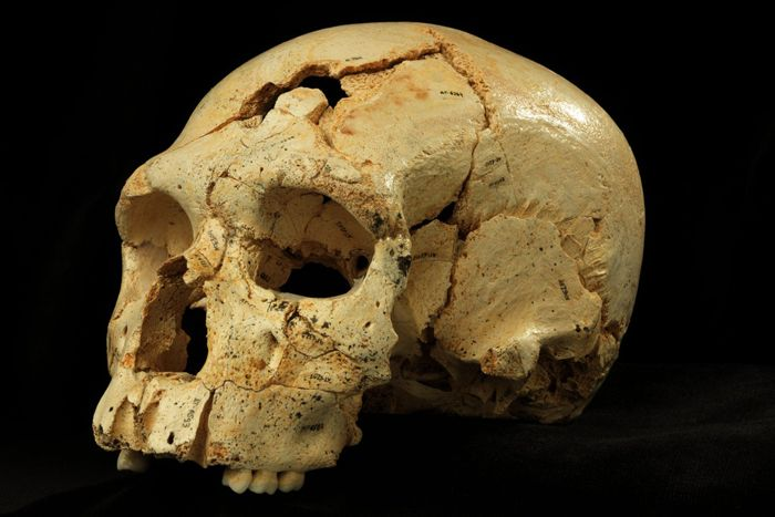 Skull 17, a hominin skull found in the Sima de los Huesos cave site in Sierra de Atapuerca, Spain.