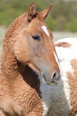 cholla pferd