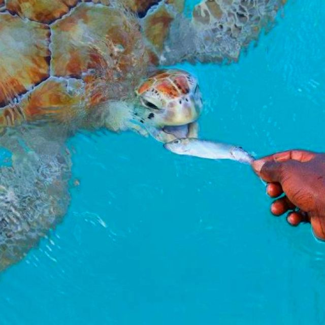 OMG -Feeding the turtles Barbados - Double click on the photo to get or sell a travel guide to #Barbados