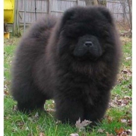 Black Chow Puppies 1 Month | Intatto Chow Chows, Chow Chow Breeder in Fort Worth, Texas