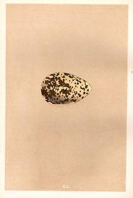 Morris's Hand Colored Bird Eggs - 1889 - GOLDEN PLOVER