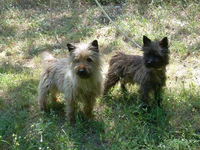 cairn+terrier | Raza Cairn Terrier. Fotos de perros Cairn Terrier