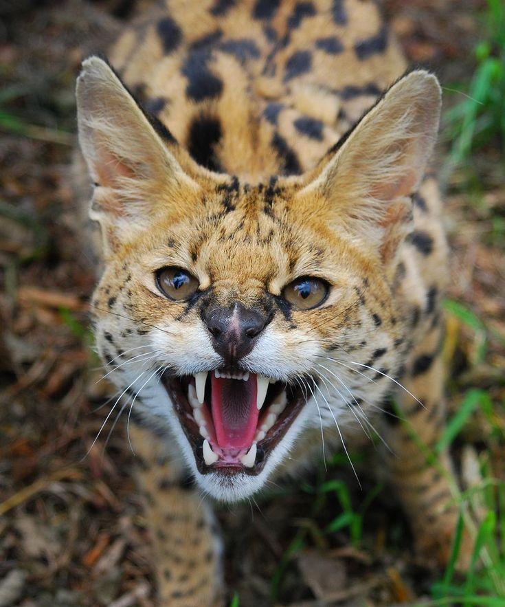 Member Photos Serval Persian, Cats and Beautiful