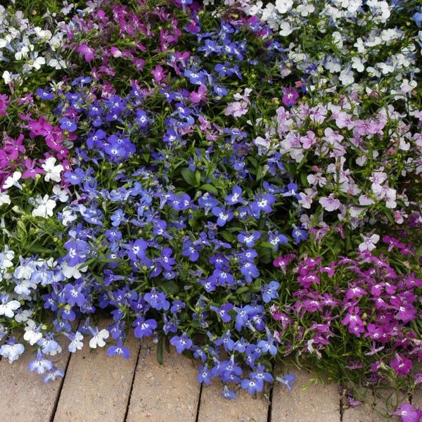 Lobelia - Mixed Colors - This traditional favorite gives prolific flowering performance over a very long period. Bush Lobelia plants are great in bedding schemes, edging borders and containers. Upright Lobelia grows well in sun or part shade.