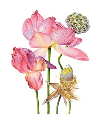 Lotus by the botanical artwork of Australian artist Heidi Willis