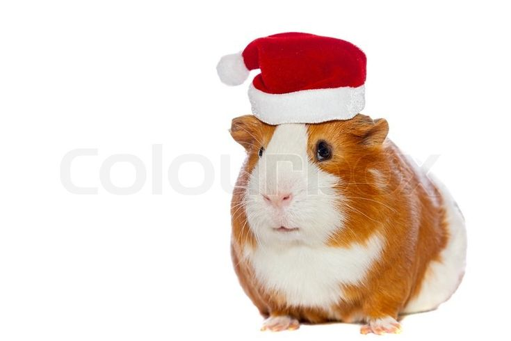 Stock image of 'Guinea pig in Santa's hat isolated on white'