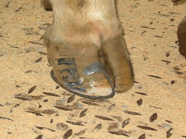 Shoeing of cattle - Working Cattle Group