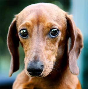 dachshund breed - Google Search