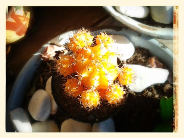 Orange / Yellow Cactus