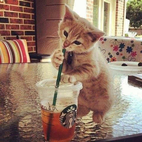cute kitten drinking from a straw in a Starbucks cup