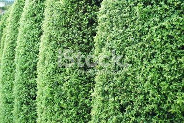 Hedge Row of Pittosporum Royalty Free Stock Photo