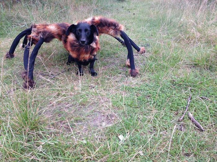 #интересное  Шестилапая собака-паук нагоняет ужас (2 фото)   Польский шутник Сильвестр Вардега (Sylwester Wardega) нарядил свою очаровательную собачку по имени Чика в меховой костюм гигантского паука, превратив её в Собакопаука (DogSpider). Черный цвет собаки сливался с темн�