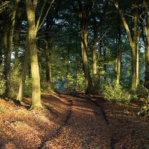 La luce del tramonto tra gli alberi dei Cranmore Woods presso Shepton Mallet, in Inghilterra