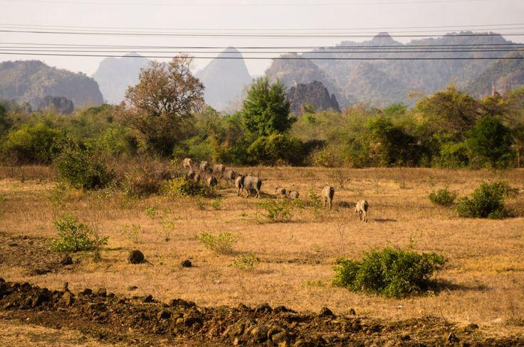 Wandering buffaloes, Laos