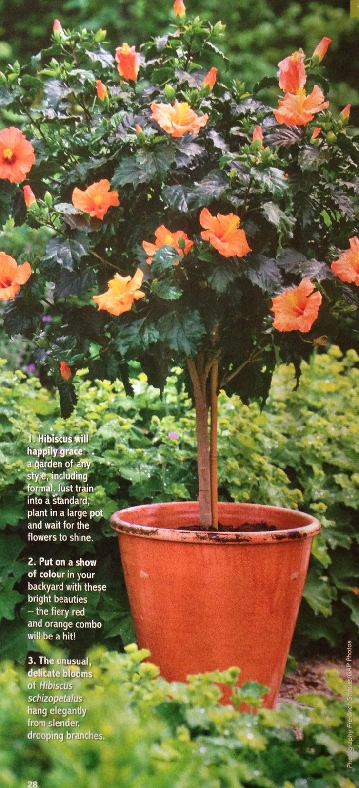 Potted Hibiscus