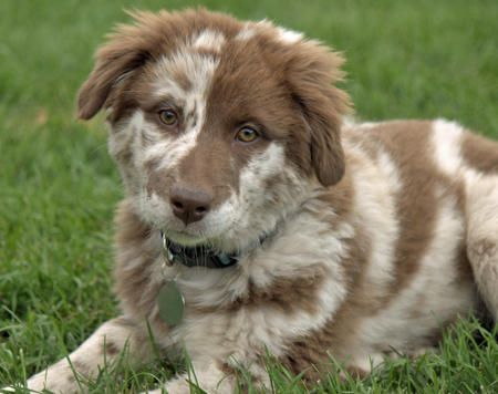 okay seriously, ill give up everything else on this list for an australian shepherd