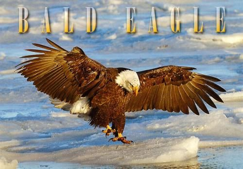 Bald Eagle American Symbol Of Freedom Postcards I Ve