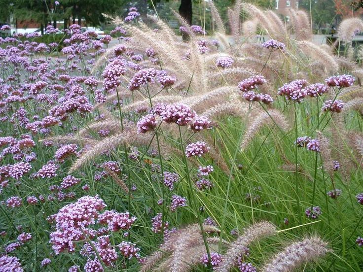 Love this combination verbena bonariensis and pennisetum for Ornamental grass garden