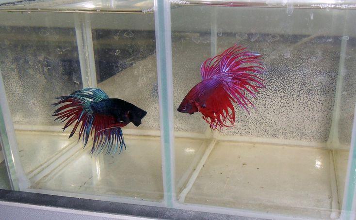 По многочисленным просьбам посетителей, в салоне аквариумов AquaHouses появились рыбки Петушки. Рыбка петушок или бойцовая рыбка, за рубежом распространено