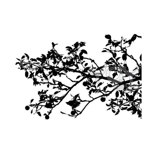 royalty free image of apple tree branch silhouette 12 liked on polyvore