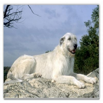 The Irish Wolfhound is a rough-coated Greyhound-like breed, the tallest of the…