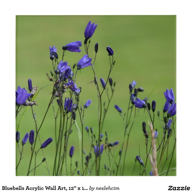 "Bluebells Acrylic Wall Art, 12"" x 12"" Acrylic Print Sold by #Zazzle http://www.zazzle.com/bluebells_acrylic_wall_art_12_x_12_acrylic_print-256634414917027582?rf=238901250819094787"