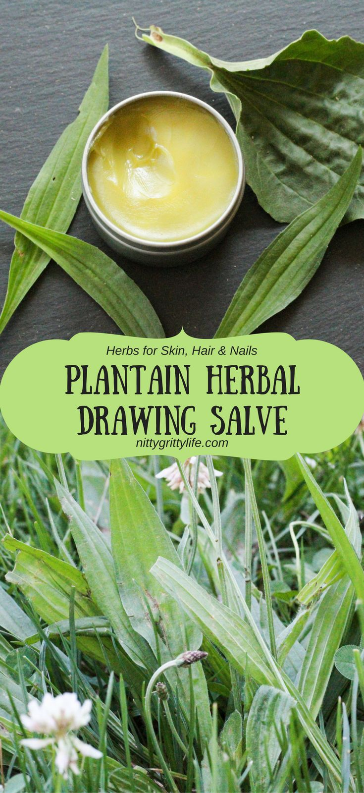 Plantain is an herb with many uses. Make this plantain infused drawing salve to relieve all your bug bites, bee stings, slivers, and rashes.
