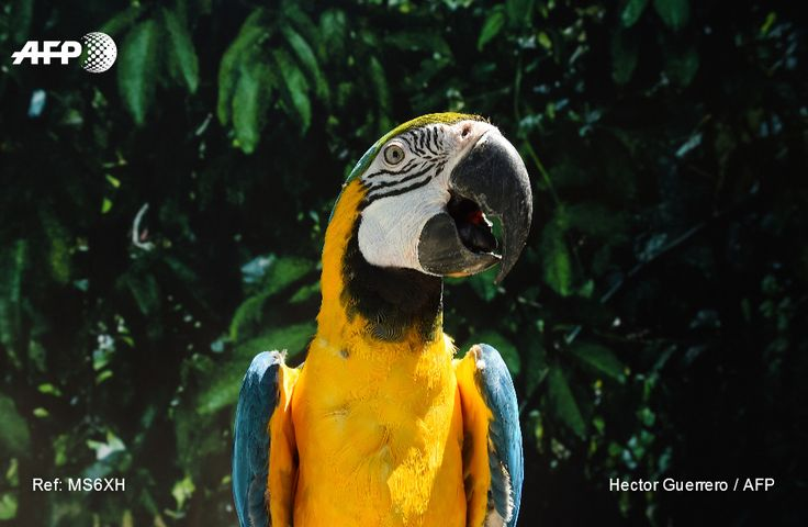 View of a blue macaw at the Michin aquarium - the newest and largest in Mexico, with 4,000 specimens of 150 species - in Guadalajara, Mexico on March 18, 2017. HECTOR GUERRERO / AFP