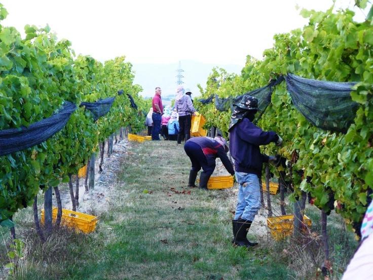 Busy pickers at Nautilus's Opawa vineyard in Marlborough, NZ