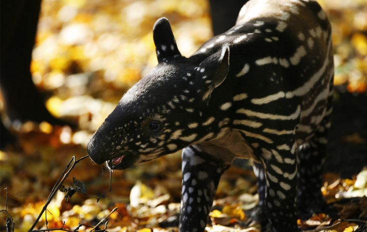 Indah, de tres semanas de edad mastica tapires malayos en una ramita durante su primera sesión fotográfica en el zoológico de Edimburgo, Escocia 16 de octubre de 2008. Los tapires malayos, que son una especie en peligro de extinción, se hoofed animales relacionados con los rinocerontes y caballos y se encuentran en los bosques de Malasia, Tailandia, Birmania y Sumatra.