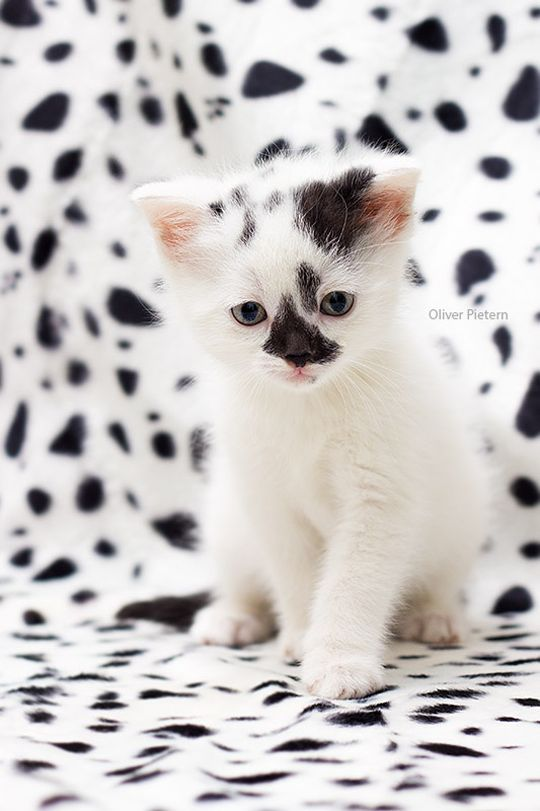 Little Spotty Crazy Cats Pretty Cats Beautiful Cats