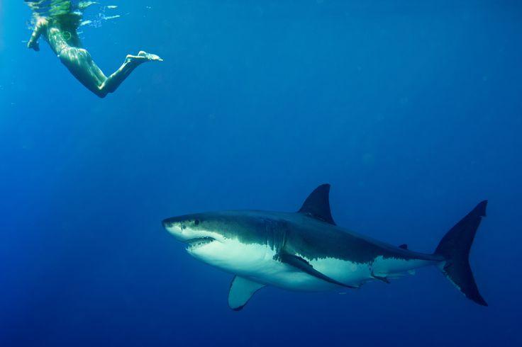 Do Sharks Really Not Like How Humans Taste?