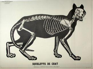 Squelette du chat   Zoologie par Bonnier   Planches pédagogiques   Deyrolle