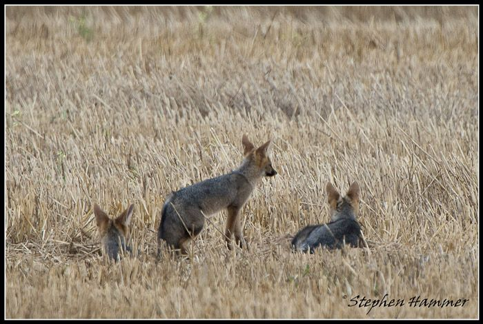cape-foxes on farm land on the Durbanville back roads