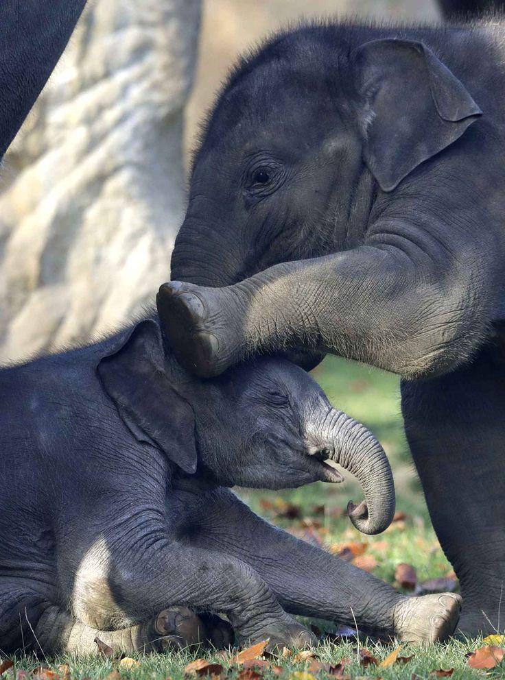 Max, un jeune éléphant d'Asie âgé de sept mois, joue avec le dernier né du zoo de Prague. L'éléphanteaux est né le 5 octobre et n'a pas encore de prénom.