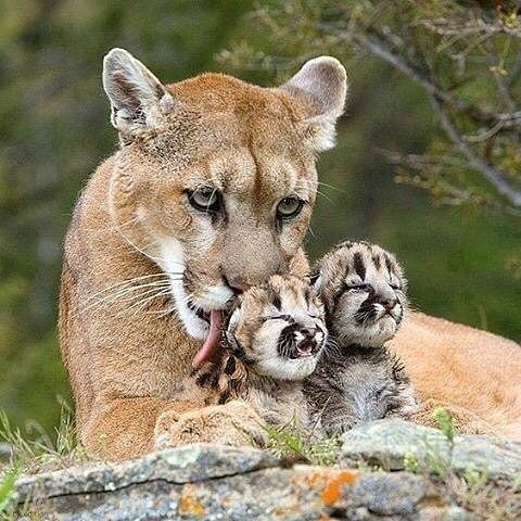 "(@earthofficial) on Instagram: ""Mountain lion with her young cubs 