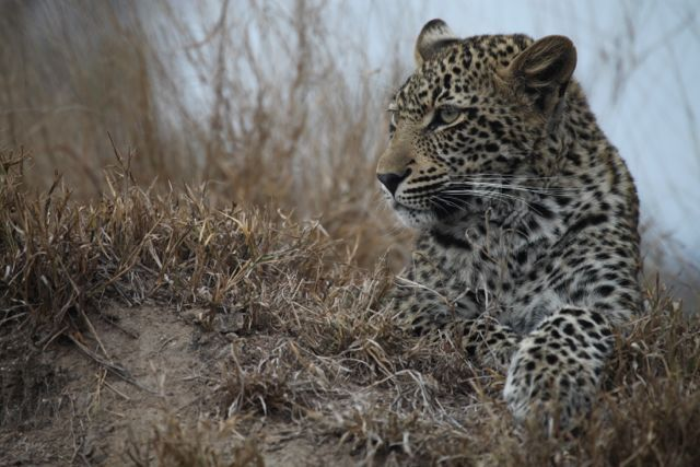 Leopard near Leopard Hills Game Lodge in the Sabi Sand Game Reserve, near where my house is situated, in South Africa