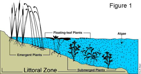 Diagram showing sections of the littoral zone: emergent plants, floating-leaf plants, submergent plants and algae.