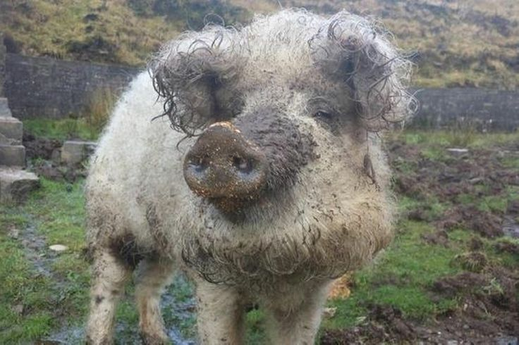 Is it a sheep? Is it a pig? No, it's a shig!