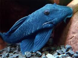 plecostomus azul