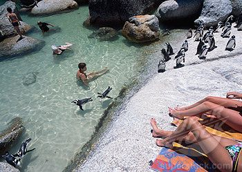 Swim with penguins at Boulders Beach in South Africa. Sounds too good to be true!