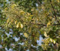 Sal - Le sal (shala en sanskrit) est une plante médicinale de la pharmacopée ancestrale ayurvédique, il est préconisé en traitement de la diarrhée et de la dysenterie, ce qui permet d'enrayer ces troubles de l'estomac. Le sal (Shorea robusta) est un grand arbre utilisé dans différentes prép... http://www.complements-alimentaires.co/wp-content/uploads/2015/09/Sal_Shorea_robusta.jpg - Par Nathalie sur Compléments alimentaires #Lesplantesdelafamilledesmalv