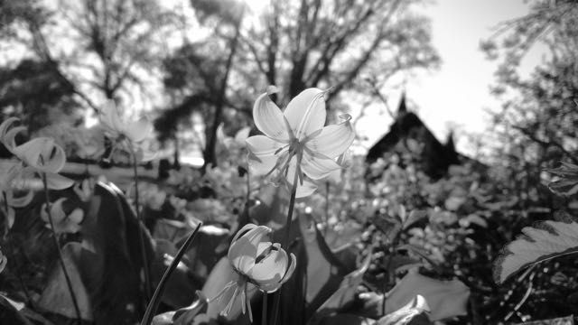 Couldn't resist a b/w version of this old church through flowers in the graveyard.