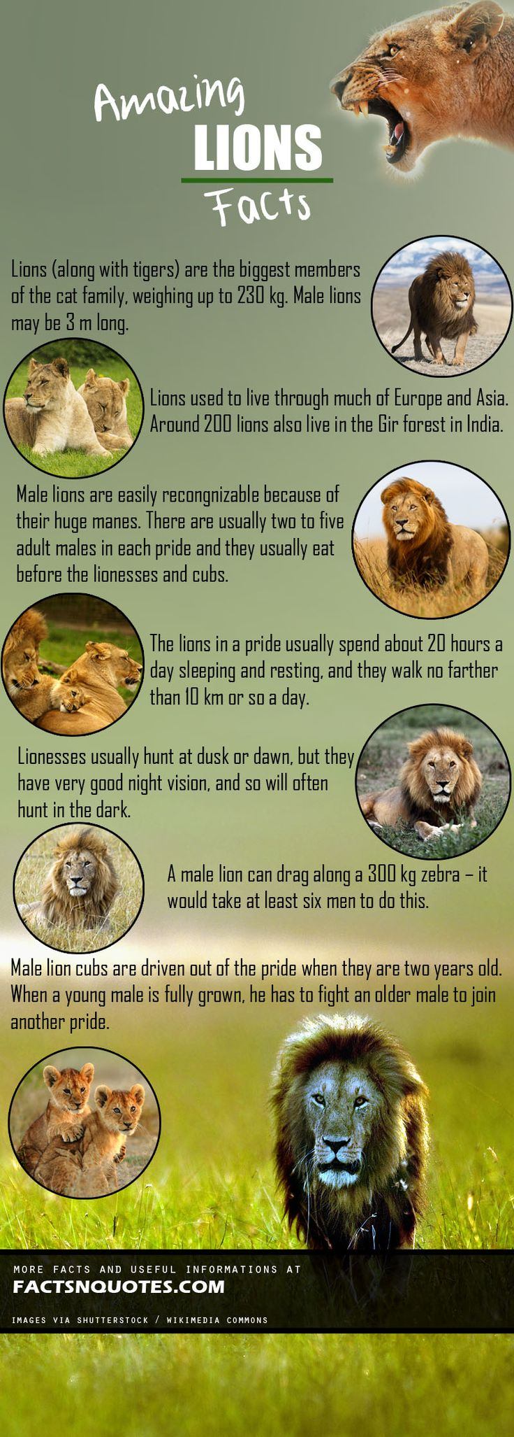 Amazing Lions Facts You Should Know