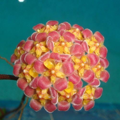 Hoya davidcummingii Cutting [IML 0892] - $10.00 : Buy Hoya Plants Online in Many Species from SRQ Hoyas Today!